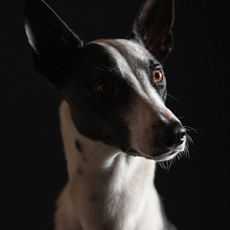 Dog Portrait Get a Zoom