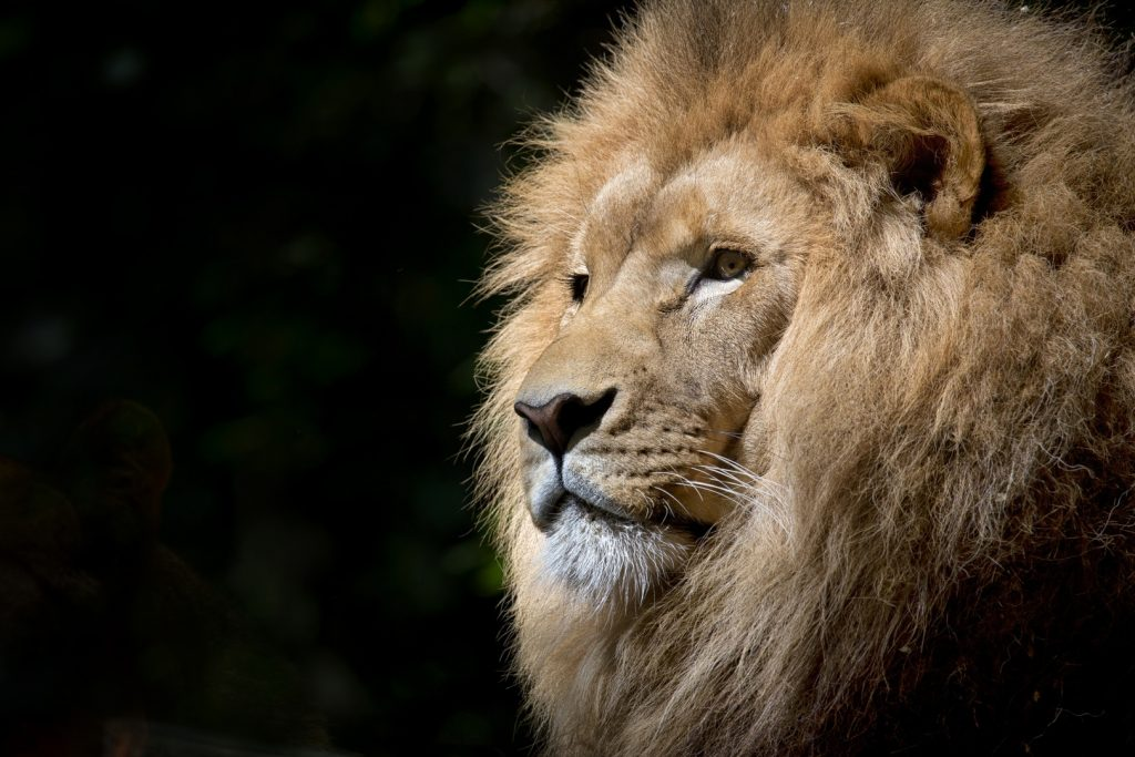 African Lion Feel The Leadership