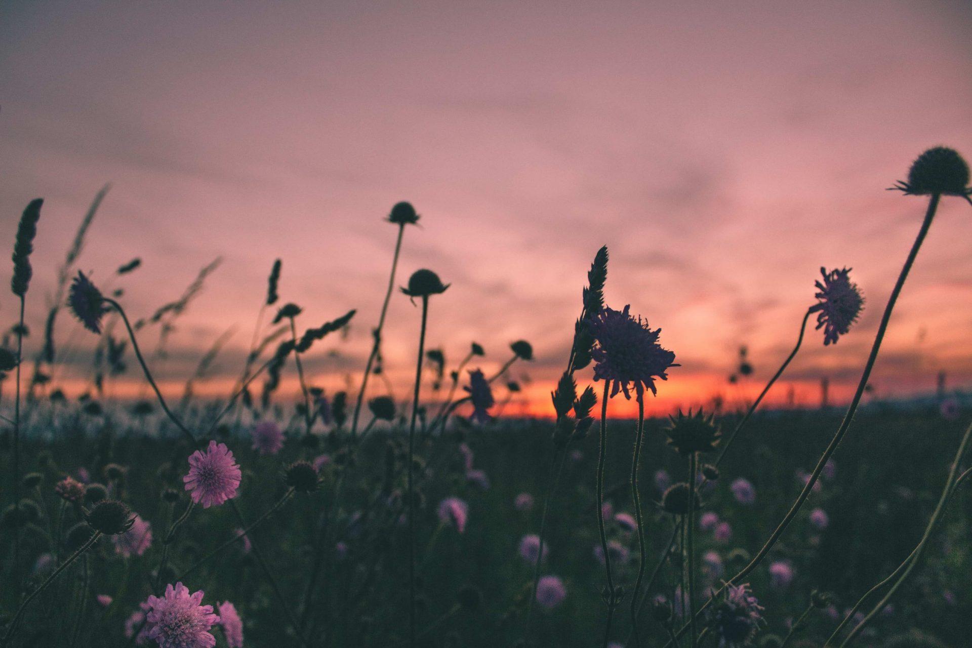 Sacred Purple Flowers Bloom During Golden Hour